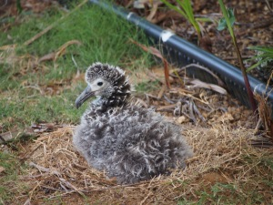 chick at Nest 1