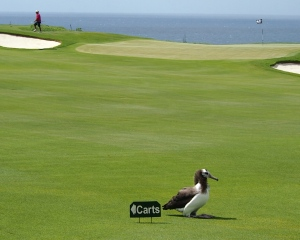 Chick on fairway 6